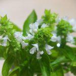 Flores de albahaca para caprese